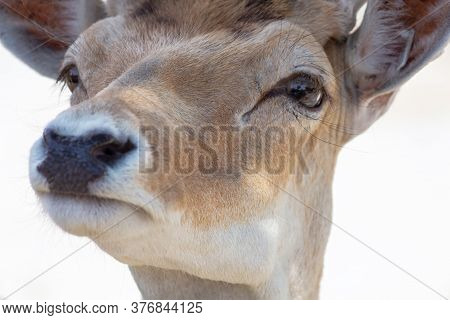 The Head Of The Doe Close-up, Looks Into The Lens