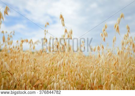 Ripe Ears Of Oats Against The Sky. Selective Focus