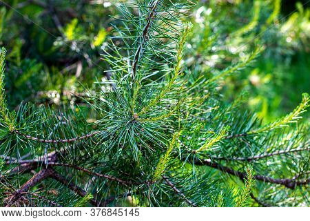 Fresh Evergreen Pine Twigs With Green Needles In The Forest In Spring And Summer Season.