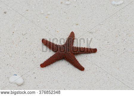 A Bright Red Thorny Starfish Stranded On A Contrasting White Sand Beach On The Remote Island Of Eleu