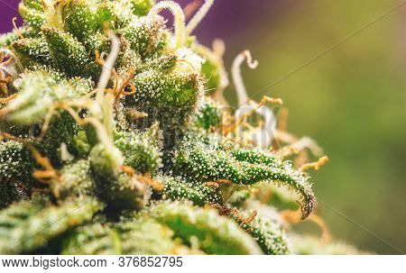 Close Up Macro Of Female Cannabis Flower With A High Production Of Cannabinoid Resin