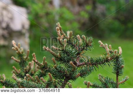 Young Decorative Blue Spruce. Needles Of Blue Spruce Close-up. Texture. Natural Blurred Background.