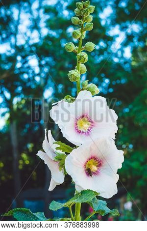 The Flowers Are Pollinated By A Bee. Alcea White With Purple Center Close-up.