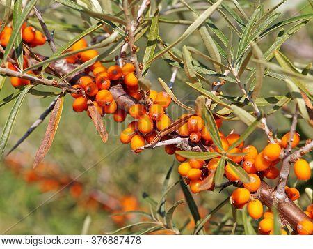Branch Of Sea Buckthorn With Ripe Orange Berries. Hippophae Rhamnoides