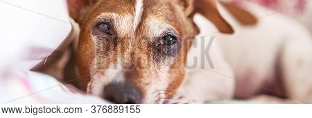 Dog Jack Russell Terrier Muzzle With Fur Of Brown And White Colours Lies On Plaid Looking At Camera