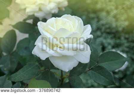 White Roses Tineke Blooms In The Garden