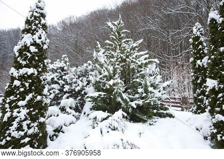Beautiful Winter Landscape. Christmas Trees And Cypresses Are Covered With Snow. Behind The Fir Tree
