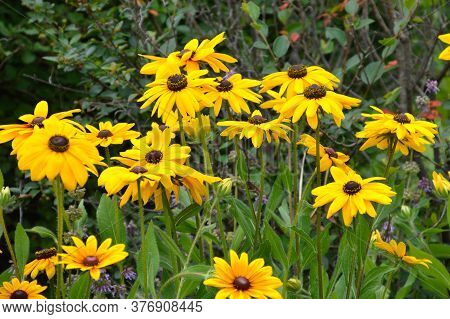 Rudbeckia Hirta, Commonly Called Black-eyed Susan On Green Leaves Background. Russian Far East.