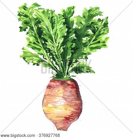 Whole Purple Daikon Radish, Fresh Turnip, Vegetable, Bora King Radish, Isolated, Hand Drawn Watercol