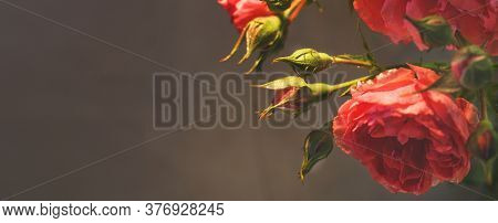 Red Rose With Strong Contrast And Water Drops On A Black Background