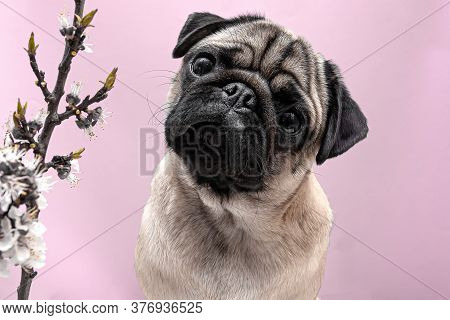 Pug Dog In Sakura Flowers Posing And Looking At The Camera On A Pink Background