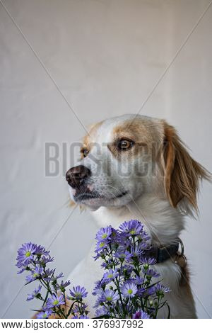 Cute, Adorable, White Dog In Saluki Type And Aster Flowers With A White Wall In The Background