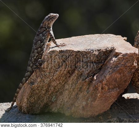 Close Up Of A Clarks Spiny Lizard Sunning On A Rock In The Morning Light.