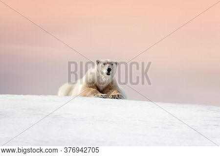 Adult male polar bear, ursus maritimus, resting on the snow of Svalbard at dusk. Soft pastel sky at twilight with space for text.