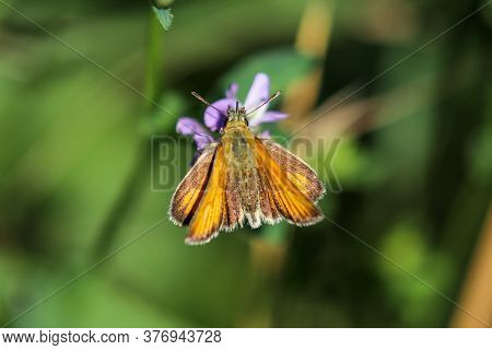 Lulworth Skipper,thymelicus Acteon, Sitting On Purple Flower