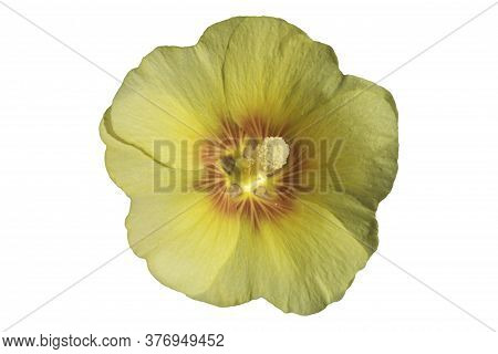 Alcea Rosea Hollyhock One Yellow Flower Isolated On White