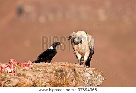 Cape Vulture and white necked raven sitting on a mountain poster
