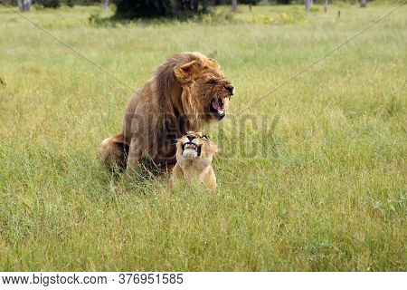 The Southwest African Lion Or Katanga Lion (panthera Leo Bleynberghi) Mating In The Savanna. Mating