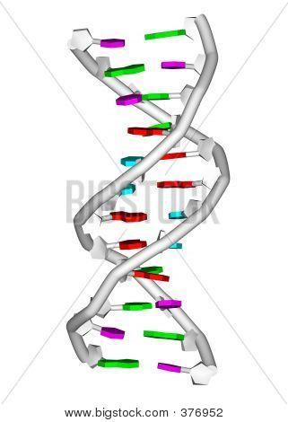 D N A Molecule