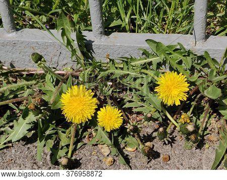 A Blooming Dandelion Flower On A Springtime