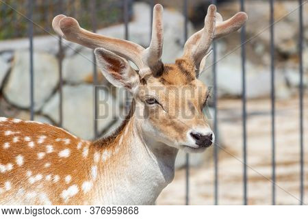 Young Doe At The Zoo, In The Background Grate