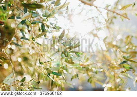 A Close-up Of Green Olives On The Branches Of The Tree, A Blurred Background With The Glare Of The S