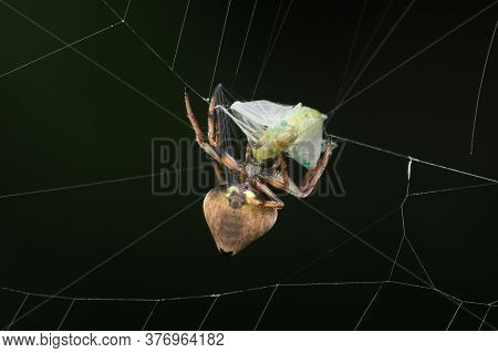 Photos Of Orb Weaver Spider (erovixia Excelsa) Wrapping Up A Mayfly For Meal With Its Silk