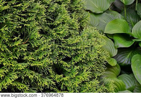 Sprawling Branches Of Thuja On A Background Of Large-leaved Green Hosta