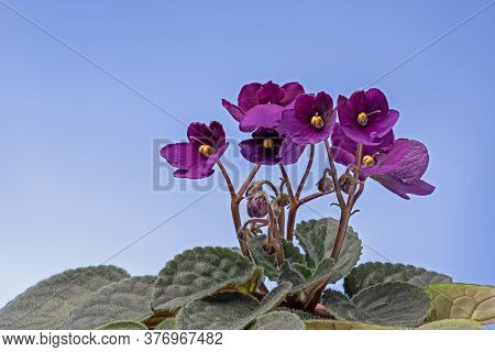 Purple Viola African Violets Senpolia On Black Background