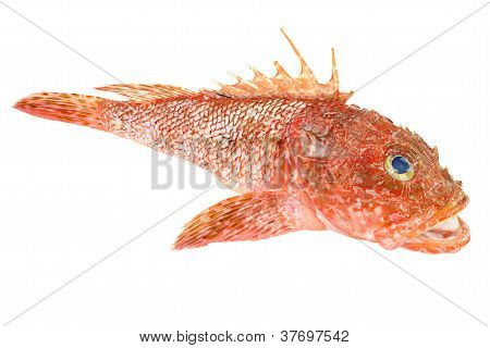 Red Scorpionfish prepared seafood. Raw food isolated on white background. As known as Scorpaena Scrofa poster