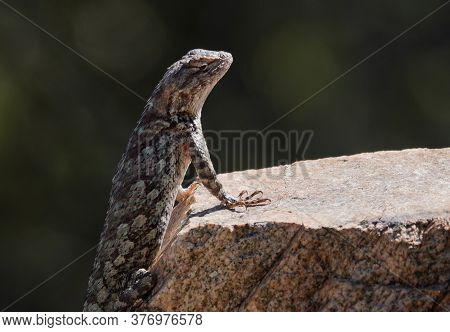 A Clarks Spiny Lizard Is Enjoying The Warmth Of The Morning Sun.
