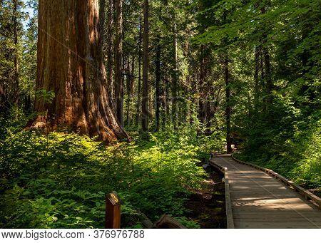 Boardwalk At North Grove Trail, Calaveras Big Trees State Park, California, Usa, Ain The Summer, Fea