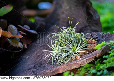 Beautiful Air Plant Call  Tillandsia Funckiana., Colorful Tillandsia On Backyard Garden Nature Back