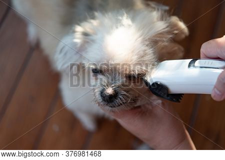 Grooming And Haircut The Dog Fur Of Beige Dog So Cute Mixed Breed With Shih-tzu, Pomeranian And Pood