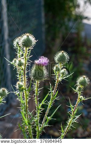 A Bull Or Spear Thistle With Prickly Stem And Buds In Morning Sunlight
