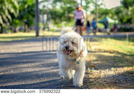Puppy Dog, Poodle Terrier Walking On Park, Cute White Poodle Dog, Animal Funny, Poodle Smile Looking