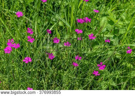 Glade With Many Bright Summer Pink Flowers Of Meadow Carnation Among Luscious Fresh Green Grass. Bea