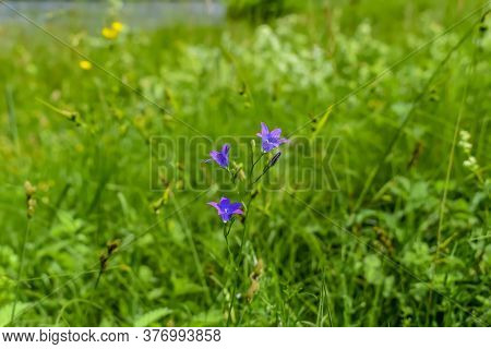 One Stem With Beautiful Blue-lilac Spreading Bellflower Flowers On Blurred Green Grass Background. M