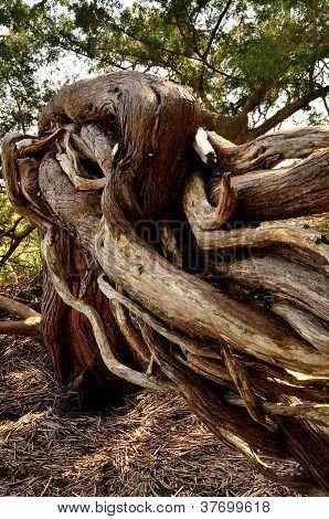 Woody vines