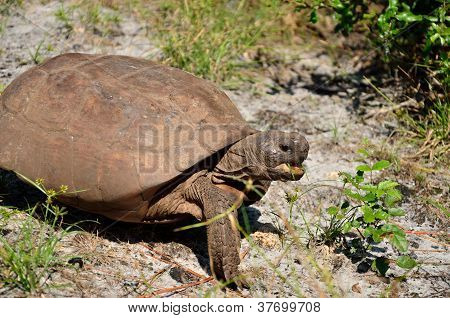 Gopher tortoise traveling over sand with mouth open poster
