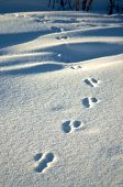 Animal footprints cast in fresh white snow poster
