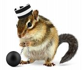 Funny criminal chipmunk in prison hat isolated on white poster