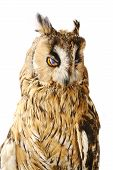 Long-eared Owl isolated on the white background poster