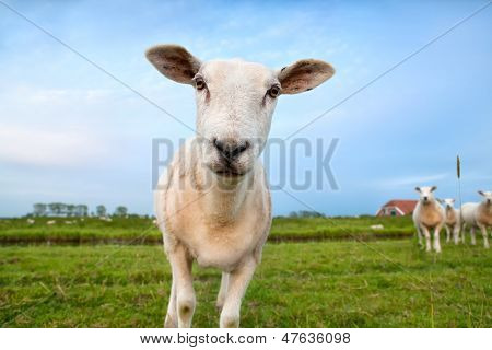 Cute Funny Sheep Close Up