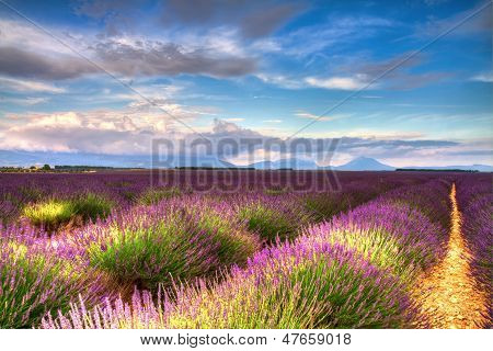 Lavender Fields On The Valensole Plateau