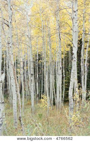 Aspen Trees, Color