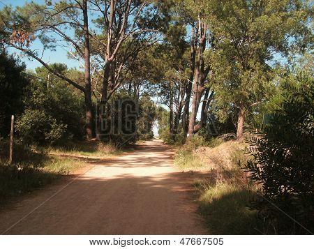 Calle entre pinos