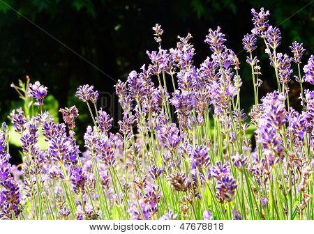 Lavender Flowers, Ireland