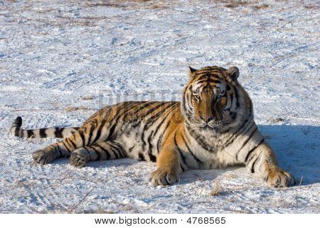 Sprawled Siberian Tiger