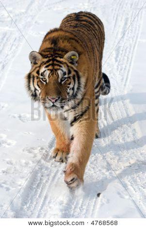 Prowling Siberian Tiger